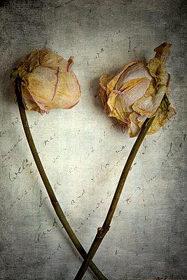 Zwei vertrocknete Rosen  - p451m2031971 von Anja Weber-Decker