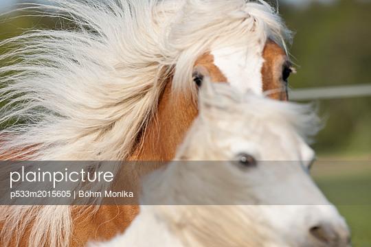 Pony und Haflinger - p533m2015605 von Böhm Monika