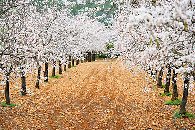 Blossoming almond trees, near Alaro, Majorca, Balearic Islands, Spain - p1316m1422610 by Daniel Schoenen