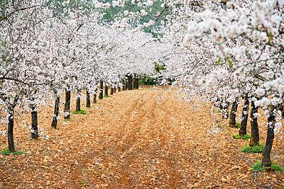 Blossoming almond trees, near Alaro, Majorca, Balearic Islands, Spain - p1316m1422610 by Daniel Schoenen