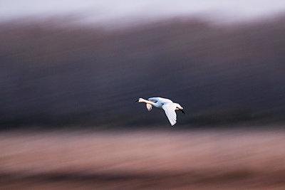 Tunda Swan landing; motion blur of background - p1480m2229493 by Brian W. Downs