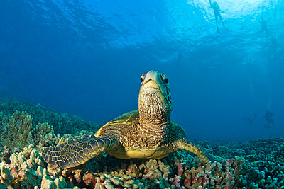 Maui Hawaii USA; Green sea turtle Cleaning Station - p4428378f by Design Pics