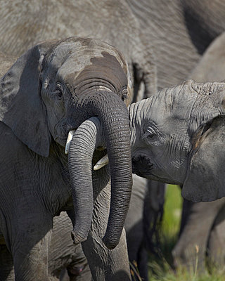Two young African elephant (Loxodonta africana) playing - p871m874638f by James Hager