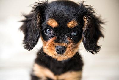Porträt Schoßhund - p988m2015068 von Rachel Rebibo