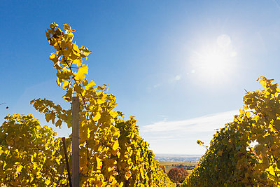 Germany, Rhineland-Palatinate, vineyards in autumn colours, German Wine Route - p300m2042068 by Gaby Wojciech