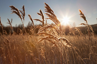 Sunlit landscape of marsh with common reed (phragmites australis) - p429m1417618 by Tiina & Geir