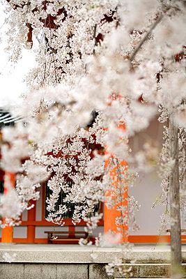 Weiße Blüten - p7840013 von Henriette Hermann