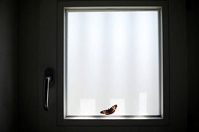 Schmetterling an einem Fenster - p819m970677 von Kniel Mess