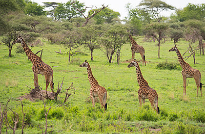 A group of Masai giraffes  in Serengeti National Park, UNESCO World Heritage Site, Tanzania, East Africa, Africa - p871m1554153 by Ellen Rooney