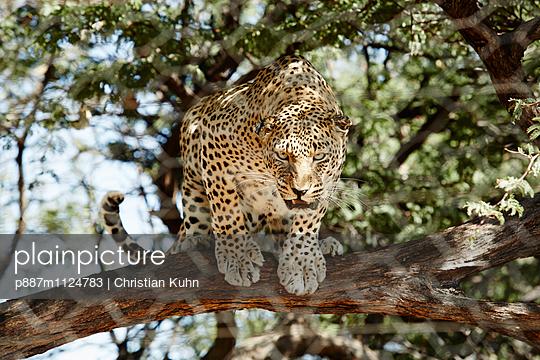 Gepard - p887m1124783 von Christian Kuhn