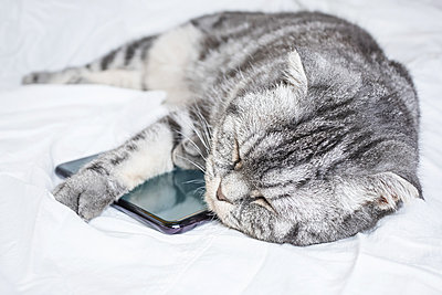 Funny gray scottish fold cat sleeping in an embrace with a smartphone - p1166m2171703 by Cavan Images