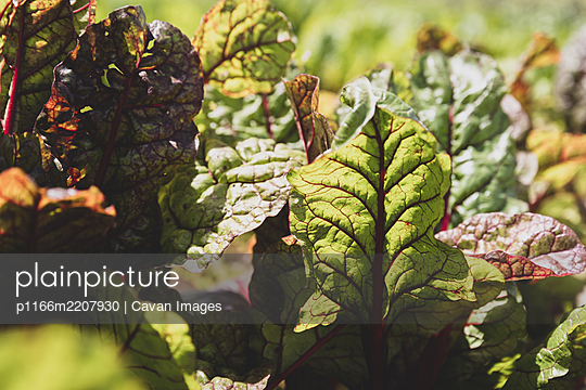 Patch of green vegetables in a field - p1166m2207930 by Cavan Images