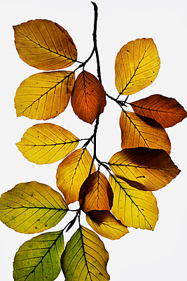 Autumn leaves - p450m1190896 by Hanka Steidle