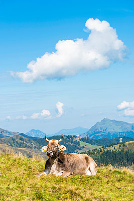 Cow on mountain pasture - p488m938573 by Bias