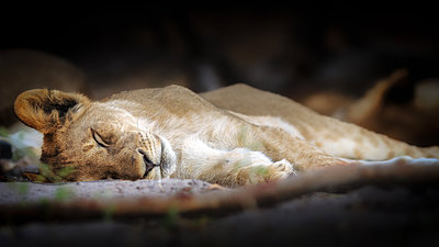 Sleeping lion cub, Chobe National Park, Botswana, Africa - p871m1197059 by Karen Deakin