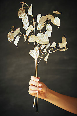 Woman holding lunaria plant - p968m2020225 by roberto pastrovicchio