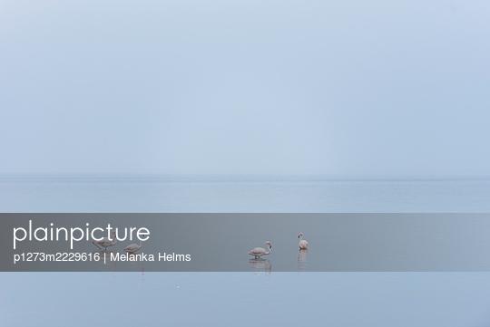 Namibia, Flamingos in the Walvis Bay - p1273m2229616 by Melanka Helms