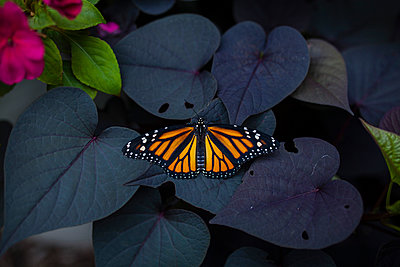 Close-up of butterfly on leaves - p1166m1176239 by Cavan Images