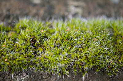Close-up of moss growing on an old stone - p1047m1007725 by Sally Mundy