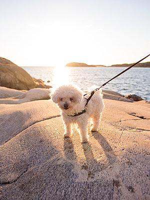 Dog on leash - p1507m2031554 by Emma Grann