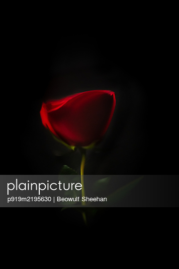 Red rose flower reflected in water against black background - p919m2195630 by Beowulf Sheehan
