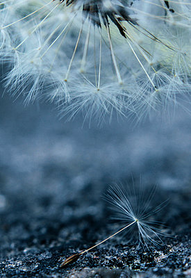 Dandelion clock close-up - p879m1481817 by nico