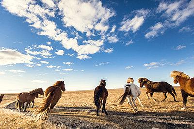 Wild Icelandic horses - p1084m857929 by Operation XZ