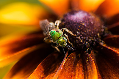 A bicolored striped-sweat bee (Agapostemon virescens) pollinates Black-eyed Susan blossoms; Astoria, Oregon, United States of America - p442m2033156 by Robert L. Potts