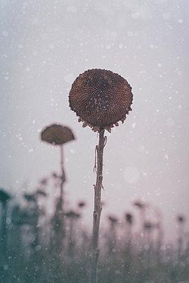 Sunflower in winter - p470m2229698 by Ingrid Michel