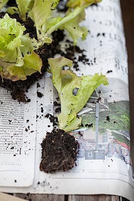 Seedlings of salad - p948m940179 by Sibylle Pietrek