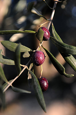 Olives on twig - p1468m1527623 by Philippe Leroux