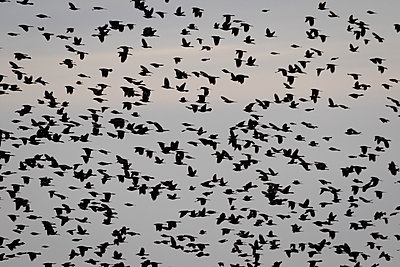 Hundreds of blackbirds fill the sky - p1480m2148250 by Brian W. Downs