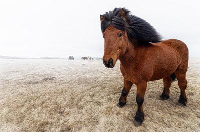 Iceland, Icelandic Horse - p300m1052851f by Scott Masterton