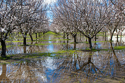 Agriculture - Standing water in a blooming almond orchard cause by excessive rain / near Manteca, California, USA. - p442m1033667f by Bill & Brigitte Clough