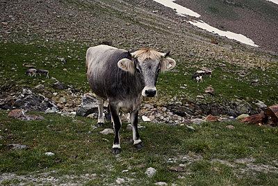 Timmelsjoch Kühe - p850m1067745 von FRABO