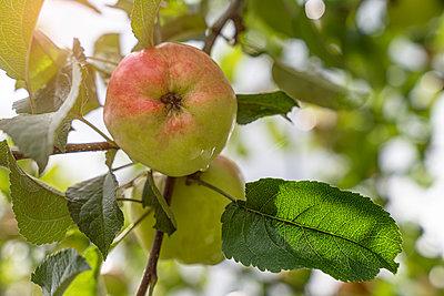 Apfel am Baum - p1275m2211045 von cgimanufaktur