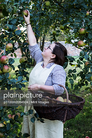Woman wearing apron holding brown wicker basket, picking apples from a tree. - p1100m2084924 by Mint Images