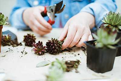 Woman's hands transplanting succulent into new pot. - p1166m2106659 by Cavan Images
