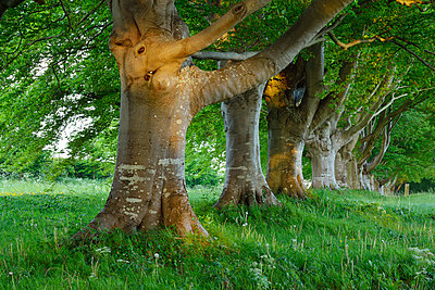 Great Britain, England, Dorset, Old beech trees in a row - p300m2081409 by Martin Rügner