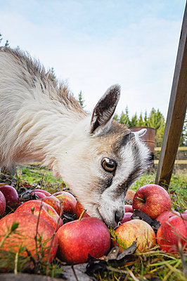 Young boat eating apples - p312m1011692f by Caluvafoto