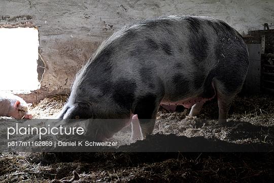 Schwein - p817m1162869 von Daniel K Schweitzer