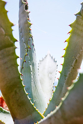 Agave - p110m779570 by B.O.A.