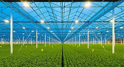 Greenhouse specialised in growing Chrysanthemums, Ridderkerk, zuid-holland, Netherlands - p429m1022496 by Mischa Keijser