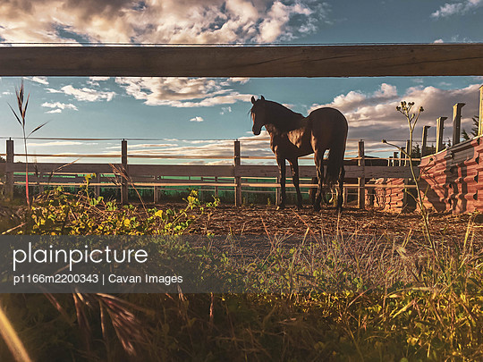 brown horse on farm looking at horizon with sunset - p1166m2200343 by Cavan Images
