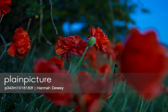 Poppies growing in a moonlit garden - p343m1018183f by Hannah Dewey