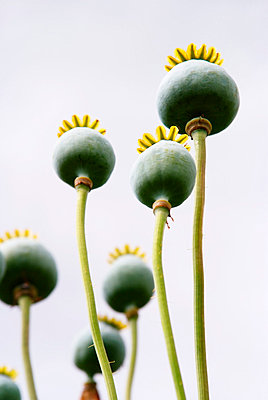 Group of poppy seed heads shot from below - p5970222 by Tim Robinson