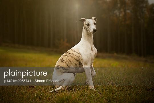 Windhund - p1421m2063741 von Simon Fröhlich
