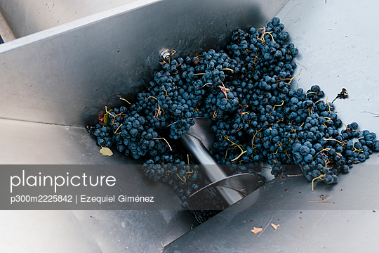 Fresh grapes in crushing machinery at winery - p300m2225842 by Ezequiel Giménez
