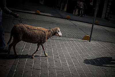 Sheep in the street for Laïd - p1007m1134864 by Tilby Vattard