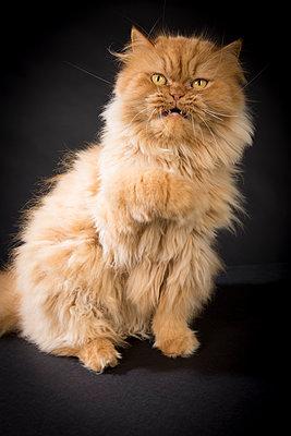 Grummelige Katze - p299m1214509 von Silke Heyer